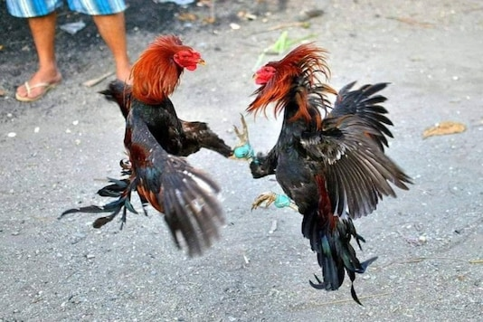 Photo of Birds Engaging in Cock Fight