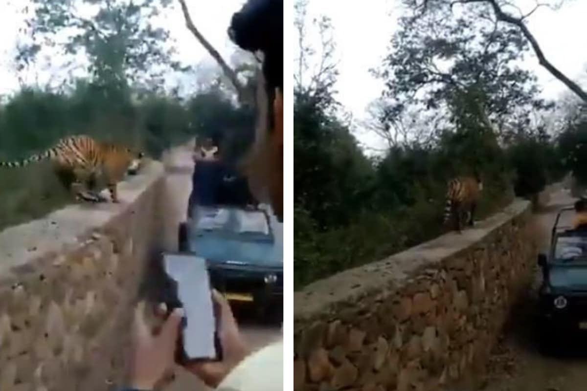 Tiger Jumps Over the Wall as Tourists Go Too Close to Click Its Picture, Horrifying Video Goes Viral