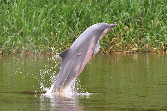 A gray dolphin (Sotalia fluviatilis) is pictured at the Amazon river, in Amazonas, Colombia. (Credit:  REUTERS/Files
