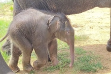 Dudhwa Tiger Reserve Invites People to Name Newborn Elephant, Announces 'Surprise Gift'