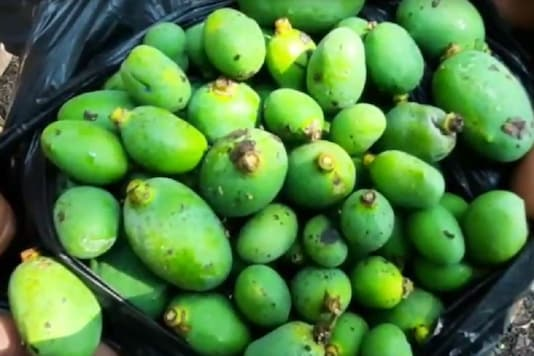 Photo of mangoes with fungus on them. (Image: News18)