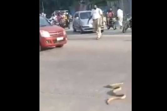 A video showing a cobra slowly crossing the road while cars and two-wheelers waited has gone viral on social media. (Credit: Twitter/Mangalore City)