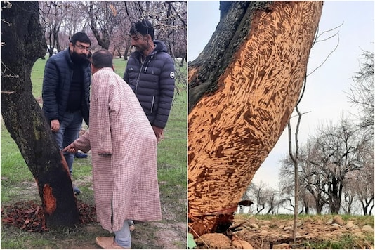 Farmers in Rohmu village of Pulwama district show the damage done to apple and almond trees by porcupines. (Image: Qayoom Khan)