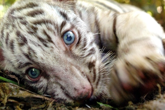 Representative image of a tiger cub. (Reuters)