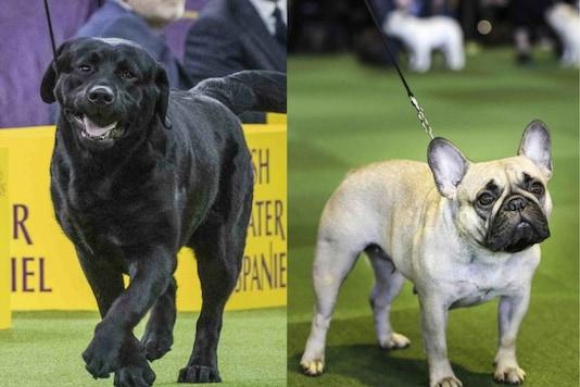 Labrador/French Bulldog. Image credits: AP.
