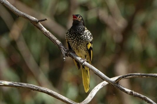 This 2016 photo provided by Murray Chambers shows a male regent honeyeater bird in Capertee Valley in New South Wales, Australia. The distinctive black and yellow birds were once common across Australia, but habitat loss since the 1950s has shrunk their population to only about 300 wild birds today. Credits: AP.