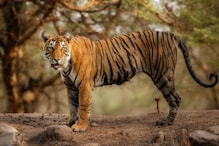 Tiger Dies While Being Taken to Sajnekhali Camp of Sunderbans for Treatment