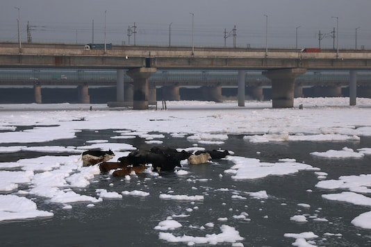 A herd of animals is seen crossing the polluted water of the river Yamuna, covered in foam in New Delhi. (Reuters)