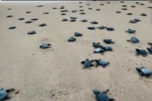 Video grab of baby turtles.  (Credit: Twitter/ ANI)