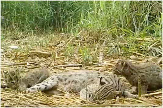 A family of fishing cats | Image credit: Twitter