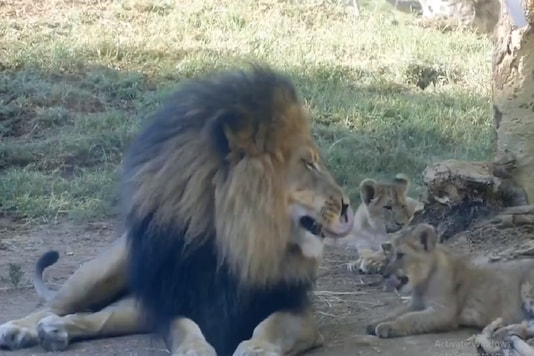 The video's caption simply read, 'Lion cub pestering his dad'. (Credit: @AnimalsWorld/Twitter)