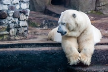25-year-old Polar Bear Dies After Swallowing Rubber Ball Thrown by Visitor in Russian Zoo