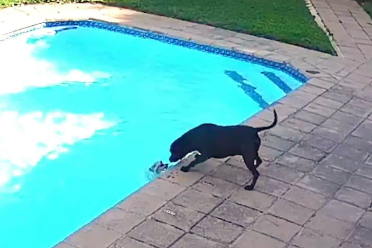 Dog Saves His Pomeranian Friend from Drowning in an Incredible Video Swimming Pool