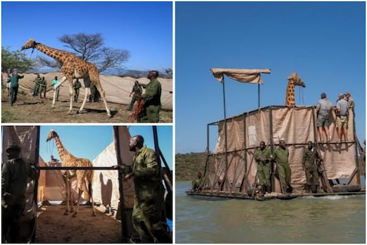Rothschild's giraffes rescued in Kenya   Image credit: Twitter