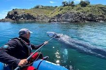 Lost in The Mediterranean, a Starving Grey Whale Must Find His Way Home Soon to the Pacific