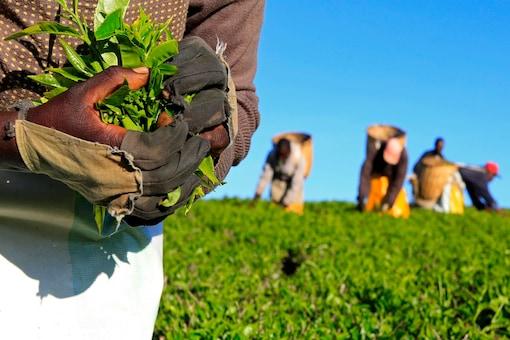 File photo: A woman picks tea leaves at a plantation in Nandi Hills