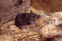 Mouse Believed to Have Gone Extinct 150 Years Ago Discovered in Australia