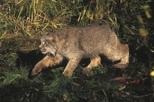 Scientists Record Previously Unheard Sounds of Canada Lynx Hunting and They're Terrifying