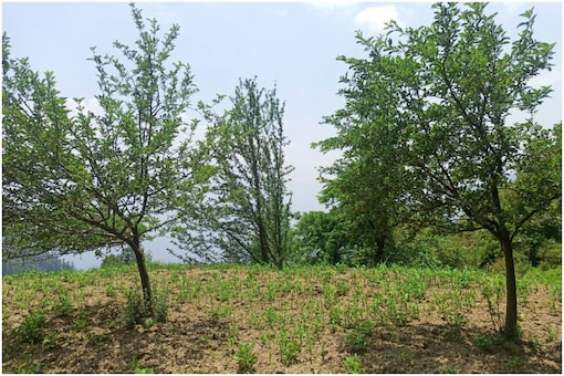Fruit trees planted by a villager in Kalihand. (Pic: Pallavi Sareen)