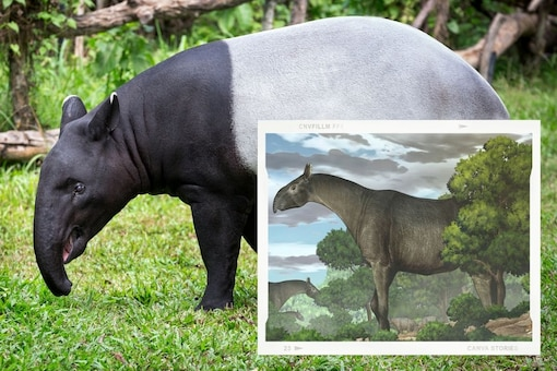 The mammal is supposed to be a giant ancestor to the modern-day rhinoceros and had a built similar to that of a Tapir, according to artist Yu chen's imagination.