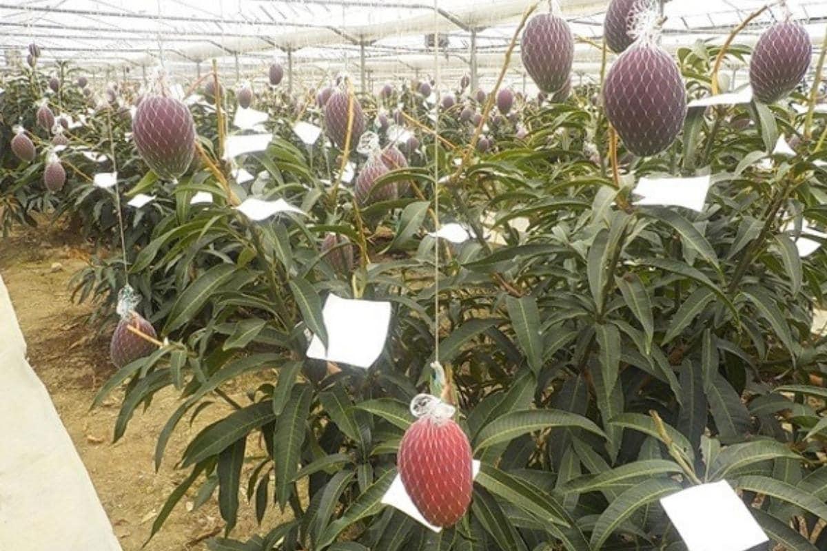 मध्य प्रदेश के किसान ने 'गलती से' उगाए दुर्लभ जापानी आम जो 21,000 रुपये प्रति पीस में बिकते हैं