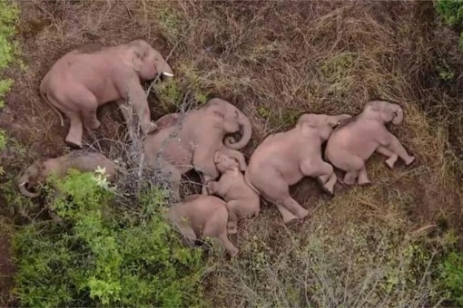 A heard of elephants sleeping together during a journey back to their home Image Credits: AFP