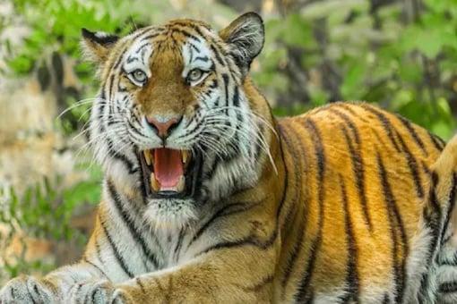 Why Uttarakhand Govt Has Decided to Keep Jim Corbett, Rajaji Tiger Reserve Open All Year Round