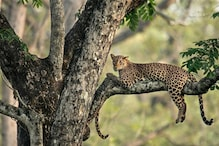 Can You Spot It? Viral Image of Leopard Cub Hiding in Plain Sight Has Twitter Scratching its Head