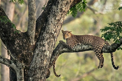 Can you spot the leopard?  (Credit: Twitter/ @GetMohanThomas)