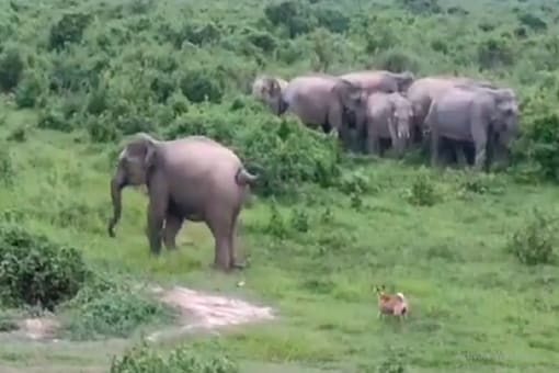 The video captured this dog chasing  a herd of elephants in Golghat district of Assam only to be chased back. (Credit: News18)