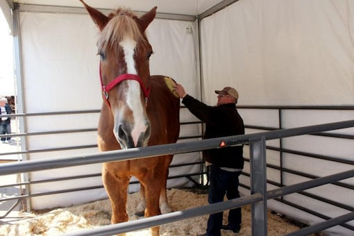 """Big Jake was 6-foot-10 and weighed 2,500 pounds. The Guinness Book of World Records certified him as the world's tallest living horse in 2010. The farm's owner, Jerry Gilbert, says Big Jake was a """"superstar"""" and a """"truly magnificent animal."""" (AP Photo/Carrie Antlfinger, File)"""