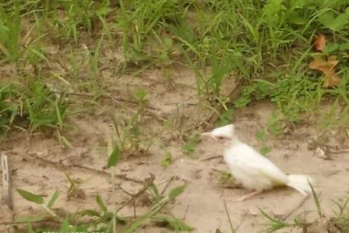 Uttarakhand: Rare White Bulbul Spotted In Jim Corbett National Park