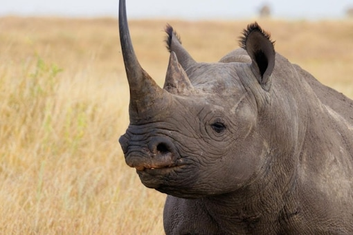 Isotopes in horn to prevent poaching of African Rhinos (Photo: WWF)
