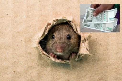 Rats damaged cash kept by a farmer in Telangana. (Both the images are for representative purposes)