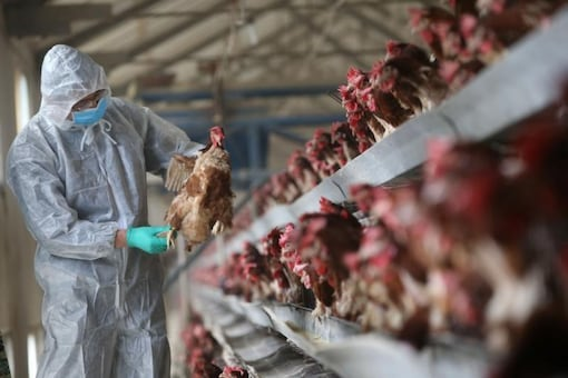 Bird flu outbreaks were reported across India earlier in January this year. (Reuters)