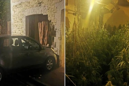 They found a plantation of cannabis and other tools to process the banned substance.