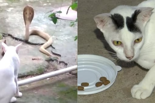 A cat prevented a cobra from entering a house in Odisha's Bhubaneswar. Credits: ANI