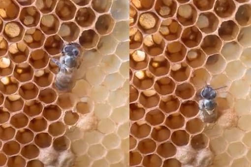 Video grab of the bee takings its first steps. (Credit: Instagram)