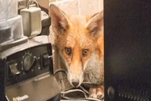 The fox had entered the couple's home around 3 o'clock.
