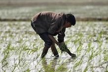 After Record Wheat Purchase, UP Govt Sets Kharif Paddy Procurement Target