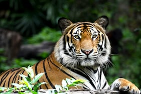 Printable Calendars to Nature Tourism: How A Wildlife Photographer is Helping Save The Tiger Campaign