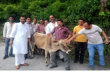 In Himachal, MLA Helps Rescue Cow Stuck in Pit Dug By PWD