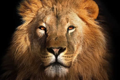 World Lion Day is celebrated annually on August 10 each year. (Representative image: Shutterstock)