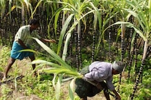 EXPLAINED: As Centre Hikes Payment For Farmers, All You Need To Know About Sugarcane Pricing In India