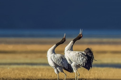 The black-necked crane was previously the state bird of the former state of J&K, along with Hangul as the state animal. (Image: Shutterstock)