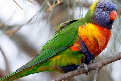 The biggest shifts in appendage size were displayed by some Australian parrot species. (Representational image: REUTERS)
