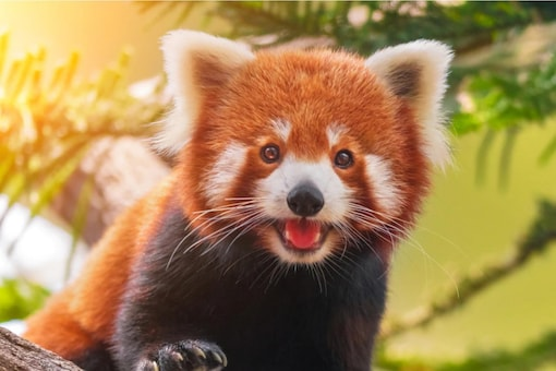 For the Red Panda, communication happens through sounds, body language, and olfactory senses.  (Credits: Shutterstock)