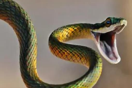Some snakes hid underground and could cling to life without the availability of food for several years. (Representational image: News18)