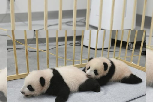 This photo released by Tokyo Zoological Park Society shows giant panda twins, male Xiao Xiao, left, and female Lei Lei, 103 days after they were born at Ueno Zoo in Tokyo ( (Tokyo Zoological Park Society via AP)