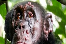 In a First, Leprosy Detected Among Chimpanzees Wandering in African Forests